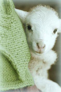 Newborn lamb.. #SuddenlySpring