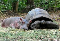 True story: a hippo and a tortoise as best buddys!