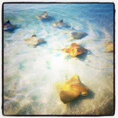 Stingrays! On the shoreline during mating season. Sanibel Island Florida
