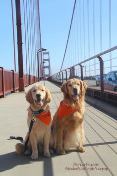 Goldens on the Golden gate Bridge Best Dogs For Families, Family Dogs, All Dogs, Dog Photos, Dog Pictures, Animal Pictures, Most Beautiful Dog Breeds, Beautiful Dogs, Golden Life