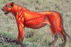 Aaron Blaise- anatomy lion