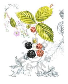 Ann Swan - Blackberries
