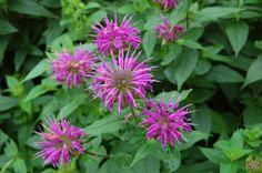 Bee Balm (Zone: 4-9) Bee Balm Flower, Bee Balm Plant, Indoor Flowering Plants, Outdoor Plants, Outdoor Spaces, Beautiful Flowers Garden, Types Of Flowers, Shade Flowers, Shade Plants