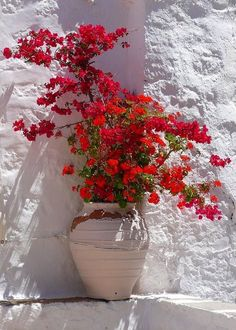 Red bougainvillea in Patmos island, Dodecanese, Greece