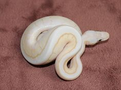 Banana Lesser Pastel Pinstripe Spider - Morph List - World of Ball Pythons