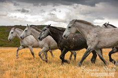 Чилийские Лошади