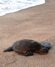 Ahh, to be a green sea turtle on the sand at Four Seasons Resort Hualalai at Historic Ka'upulehu.