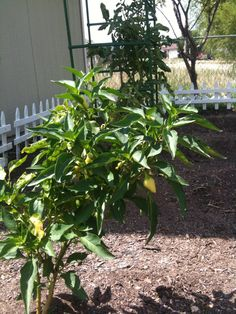 AUG 2012: no insects are eating my habanero peppers