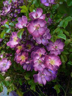 Hybrid Multiflora Rambling Rose: Rosa 'Veilchenblau'