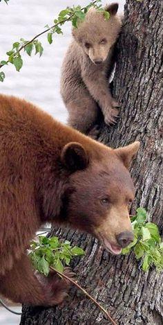 **Bear and cub. (KO) Mama bear senses danger. She shoos baby bear up the tree and stands guard. Predator beware.