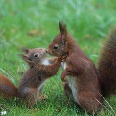 There are lots of squirrel like mammals like the ground hog, gopher as well as prairie dog. When it comes to foods, what do squirrel love to eat? Cute Squirrel, Baby Squirrel, Squirrels, Cute Baby Animals, Animals And Pets, Funny Animals, Animals Kissing, Wild Animals, Beautiful Creatures