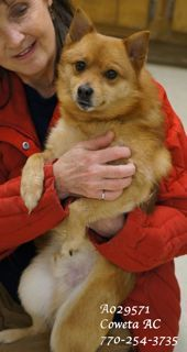 EXTREMELY URGENT! **RESCUE ONLY** Pomeranian Sex: Male Age Adult Size: Small Weight: Weight not available ID: A029571 Poor little guy....the other dogs' barking scares him and when he is kenneled where the other dogs are...it is loud he is as SWEET as he can be! Because of his fear, this little guy is available to a RESCUE ONLY!!! It is very hard on the little dogs is a shelter environment. PLEASE HURRY! This pet has been at the shelter since 01/27/15!!