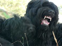 black-russian-terrier5.jpg (1024×768)