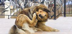 Caspa en el perro: ¿qué significa? - http://www.mundoperros.es/caspa-en-el-perro-que-significa/