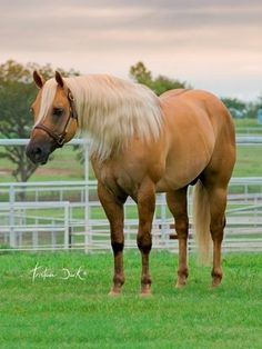 He's from Hollywood Dun it. Descendant and beautiful! -Wish my horse had a mane like that! American Quarter Horse, Quarter Horses, Palomino, All The Pretty Horses, Beautiful Horses, Reining Horses, Draft Horses, Horse World, Horse Trailers