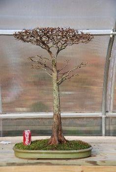 Bald Cypress Flat Top Bonsai