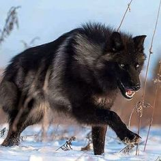Wow – what a stunning black Timber Wolf! Wow – what a stunning black Timber Wolf! Wolf Spirit, Spirit Animal, Wolf Pictures, Animal Pictures, Beautiful Creatures, Animals Beautiful, Tier Wolf, Animals And Pets, Cute Animals