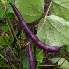 Purple Queen Bean Seeds Royalty Purple Pod