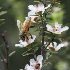 Shout outs to all the bees for doing such an outstanding job. THANKYOU little guys 🐝 Manuka Honey, Shout Out, Natural Skin Care, Bees, Nature, Instagram Posts, Plants, Naturaleza, Bee