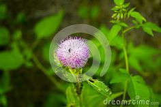 Photo about A wild flower with blury leafs background. Image of crop, herb, close - 95177994 Wild Flowers, Close Up, Dandelion, Herbs, Leaves, Stock Photos, Plants, Image, Wildflowers