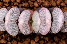 Haworthia truncata Seeding Good Pink Pattern Rare  no ariocarpus cactus caudex