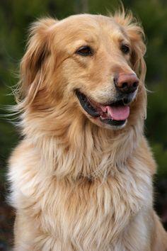 Vessi - Our lovely dog - hovawart female Vessi