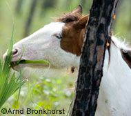 Abaco Barb Horse Breed Profile, click picture for list of all horse breeds!