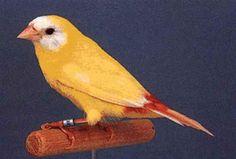 Driekleur papagaaiamadine, Erythrura trichroa