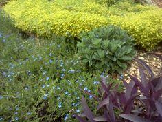 Sedun-stone crop, Lithodora, and Purple Heart add beauty to a rock garden