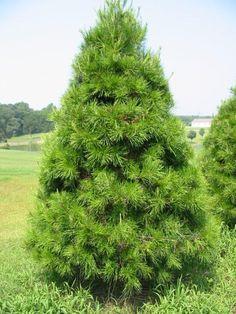 / / . Virginia Pine