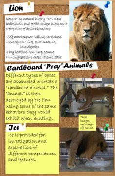 Lion :: Species Specific Enrichment Ideas :: Animal Enrichment