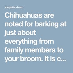 Chihuahuas are noted for barking at just about everything from family members to your broom. It is considered as a nuisance by many people but they are so lovable that their owners are always seeking out ways to train them not to be such barkers