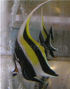 Moorish Idol: This fish should not be kept in anything less than 125 gallons.These fish should be provided with plenty of unobstructed swimming...
