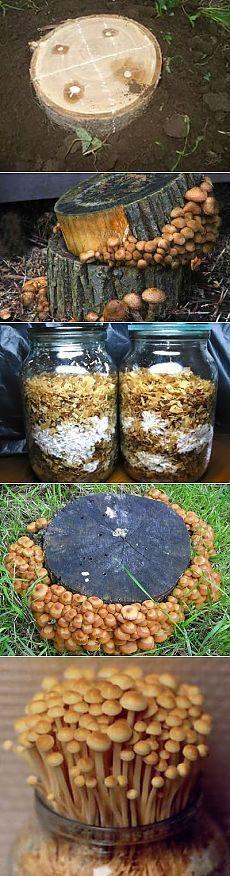 Как самостоятельно выращивать или культивировать грибы опята в домашних условиях. Описание методик и технологий выращивания летних и осенних опят на приусадебном участке на пнях, в теплицах, погребах и в банках на подоконнике