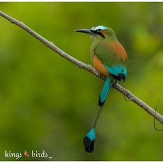 Present Today September 25 2015 Our Congratulations go to @jdubpdx Name of birds:Blue-crowned Motmot  . Please visit Her /His Gallery!! ________________________________________  Specify the name of the bird  ________________________________________ Thank you for tagging your pics #KINGS_BIRDS ...and we'll be grateful to see the repost even if temporary. Keep following and remember to tag  ONLY YOUR LAST POSTS   ________________________________________  Pic chosen by @cekotto . KINGS_BIRDS…