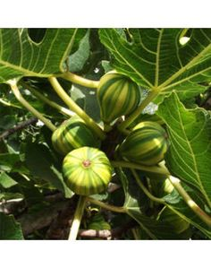 Ficus, Plant Leaves, Gardening, Green, Plants, Garten, Fig, Lawn And Garden, Figs