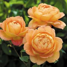 Lady of Shalott English Rose, Zones 5 - 9, tea fragrance with hints of clove and apple. Full sun and moist soil.