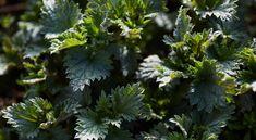 » Ogräs som går att äta – tips och recept – Allt om Mat