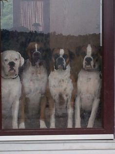 Boxer dogs, four at the door...