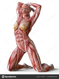 Picture Of Female Anatomy Body . Picture Of Female Anatomy Body Female Anatomy And Muscles Body Without Skin Isolated On White Human Anatomy Female, Human Anatomy Picture, Human Muscle Anatomy, Human Anatomy Drawing, Anatomy Models, Anatomy For Artists, Skin Anatomy, Anatomy Study, Anatomy Images