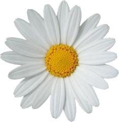 daisy png tumblr - Buscar con Google