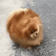 This pupperino is shaking the last 12 month right out of its hair. | 17 Animals That Have Had Enough Of 2016 More Cute, Animals And Pets, Cutest Animals, Pugs, Cute Pictures, Doggies, Bunnies, Samsung Galaxy, Dog Cat