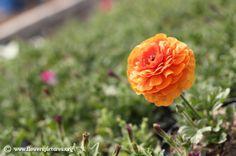 Persian buttercup (7) Colorful Flowers, Flower Colors, Persian Buttercup, Flower Pictures, Red And White, Flora, Orange, Rose, Plants