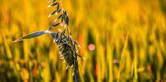 Ilcerealesano:l'avena e la sua importanza nella fitoterapia! Kraut, Dandelion, Flowers, Plants, Studio, Blog, Herbal Medicine, Oatmeal, Healthy Cereal