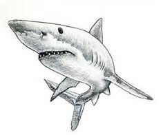 tattoo shark drawing drawings tattoos easy pencil bing animals sea haie sharks animal zoo cool sketch sketches ru attacks ink