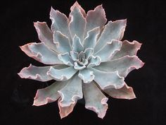 Echeveria 'Rippling Waters'   Flickr - Photo Sharing! Crassula, Echeveria, Planting Succulents, Succulent Gardening, Cacti And Succulents, Cactus Plants, Planting Flowers, Air Plants, Garden Trees