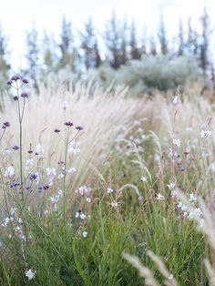 , How Karen Rhind started again with a lavender farm and dry garden in Central Otago , In the Bannockburn perennial garden grasses include Calamagrostis 'Overdam' and blue oat grass, and the flowers Verbena bonariensis, as well as Gaura . Wild Flower Meadow, Wild Flowers, Blue Oat Grass, Landscape Design, Garden Design, Stipa, Central Otago, Dry Garden, Garden Grass