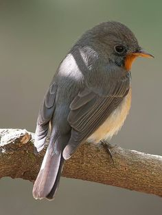 Kashmir Flycatcher: breeds in NW Himalayas in the Kashmir region of the ISC (Pranesh Kodancha)