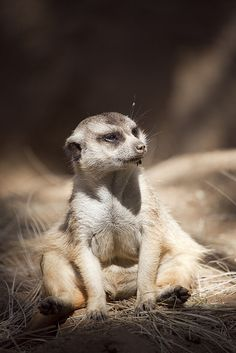 Meerkats are able to kill and eat venomous snakes and scorpions without being hurt, as they have become immune to the venom.