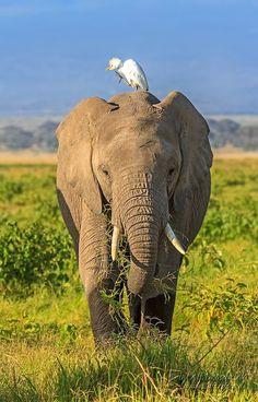 Photograph Elefant im Amboseli by Alf Drosdziok on 500px